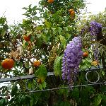  Oranges and flowers (Glyzinie) on the pergola
