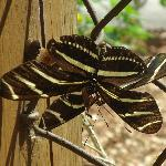pretty zebra butterfly close up