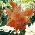 Love the orange hibiscus