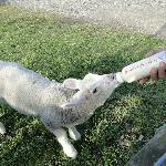  Bottle feeding the lambs
