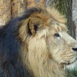  panthera leo persica