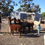 Hungry alpacas