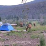 Elk in a nearby campsite
