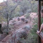 Javelina beggin for food!