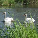  Swans at Reybridge