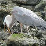 The Great Blue Heron that was in Trouble with the fishhook in its mouth and throat and fishing l