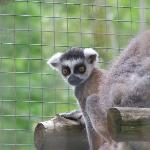 Baby Ring-tailed Lemur!!!