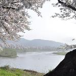 Shiroishigawa Tsuzumihitome Senbon Cherry Blossom