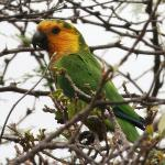 Yellow shouldered parrot