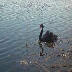  Sherwood Forest black swan