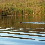 Great wildlife watching at Lowell Lake minutes from the Snowdon.  Here is a beaver swimming.