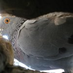  View on a dove from the hole in the wall of my room :-)