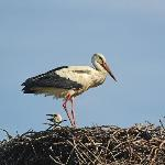  Nesting White Stork
