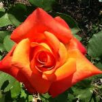  Just one of the gorgeous and bountiful roses in the garden