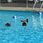 Ducks enjoying the outdoor pool at Mayflower Hotel