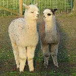 Jersey Shore Alpacas