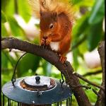  Red squirrel in the hotel garden taken from our room window
