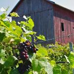 A shot of the grape crop and the old barn that is just behind the Nauvoo Grand Bed & Breakfast!