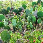 Prickley Pear Cactus in sand dunes