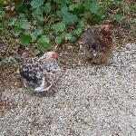 Chickens at the garden - Les Hautes Bruyères - Écully Lyon