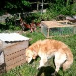 Cally and the chickens in the garden at Blackadon