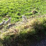  Little lambs in the field next to the Old Manse Guest House