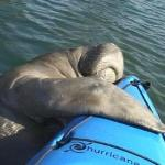  A Close Encounter of thw Manatee Kind