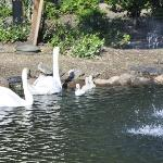 One of the ponds with the Swan family