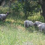  sheep in the grounds