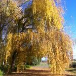 Autumn Willow