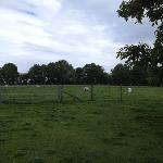 Sheep grazing beside the farmhouse at Leaveland Court Farm
