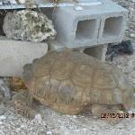 The very large turtle they take care of on grounds.