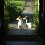 Jack Russels in a sunbeam