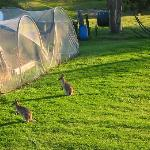 Wallabies grazing outside the vege patch