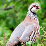 Local resident, a red legged partridge