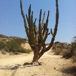 giant cactus near the B&amp;B on my running route around the neighborhoor