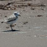  Wilson&#39;s Plover