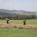 view from entoto hills, women carrying eucalyptus firewood