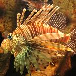 This is one of the lion fish in their exhibit.