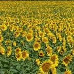 La Vendange - surrounded by sunflower fields in June