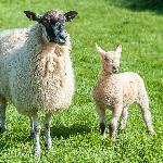 North Country Mule ewe with her Charollais lamb