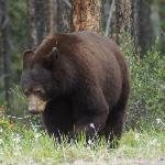  Grizzly - Icefields Parkway