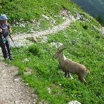 A surprisingly friendly large Ibex on the Aiguilles Rouge
