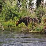 Saw a moose while we were fly fishing