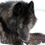 Yamnuska Wolfdog Sanctuary