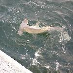 ~ 7 foot Hammerhead during shark fishing trip. Awesome to get that close to one in the wild!