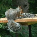 Squirrel at the feeder