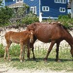  Horses seen in residential area behind dunes