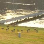  Boat dock on Lake Hamilton, with flock of Canadian geese grazing the lawn.