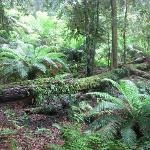 Treeferns & Antarctic beech trees in Rainforest